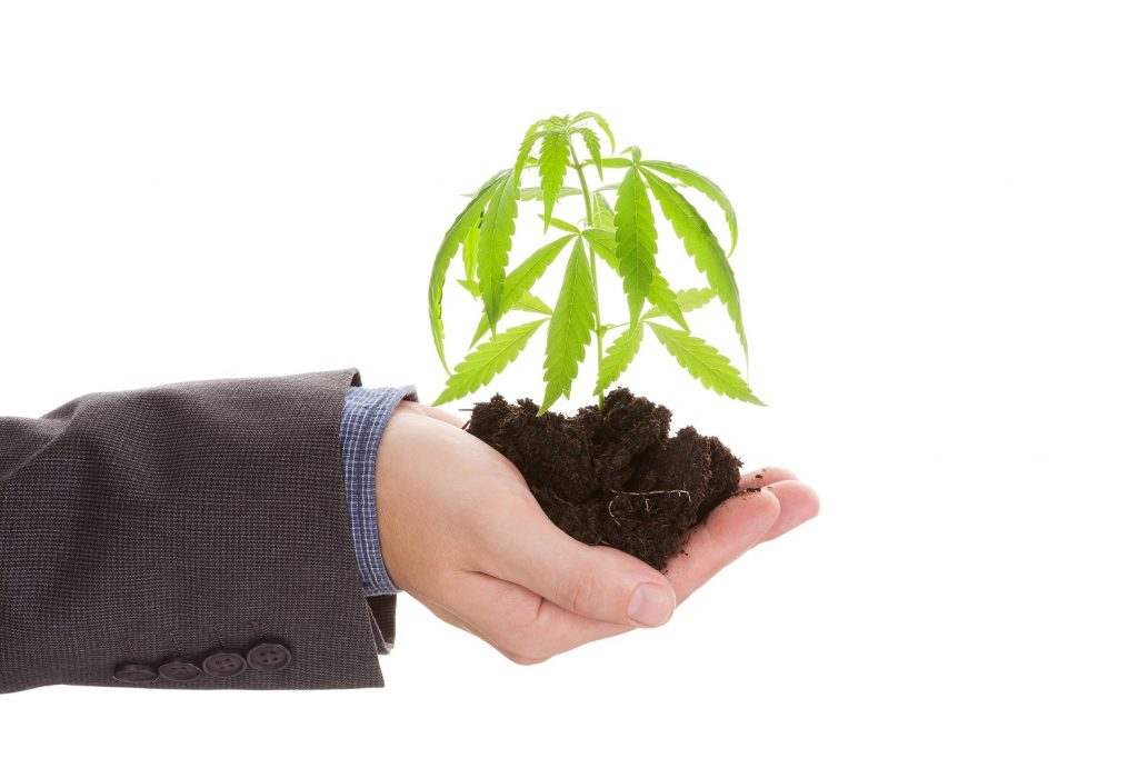 Business man holding marijuana stocks plant